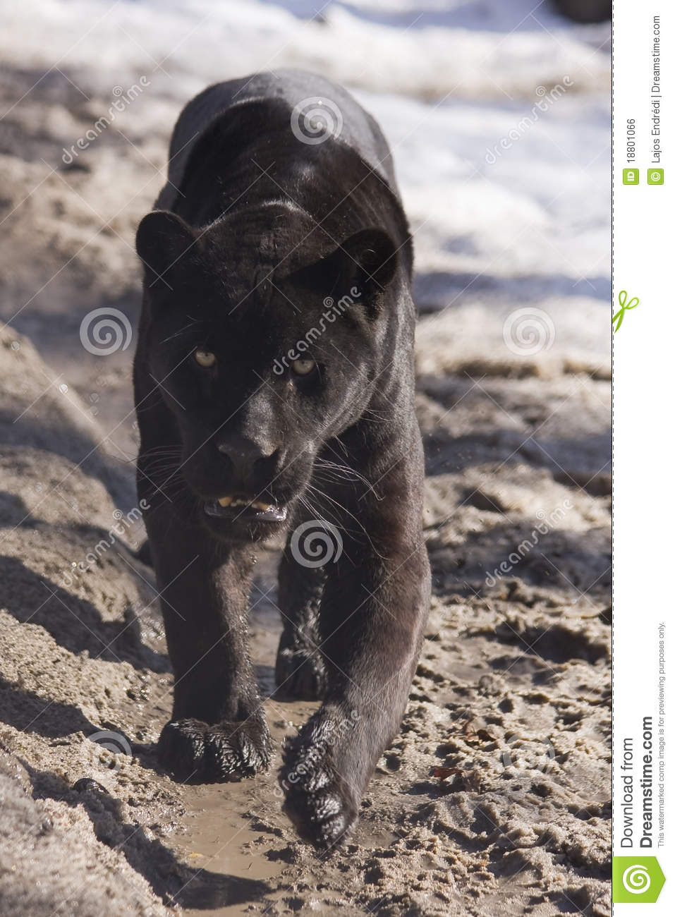 Black jaguar (Panthera onca)