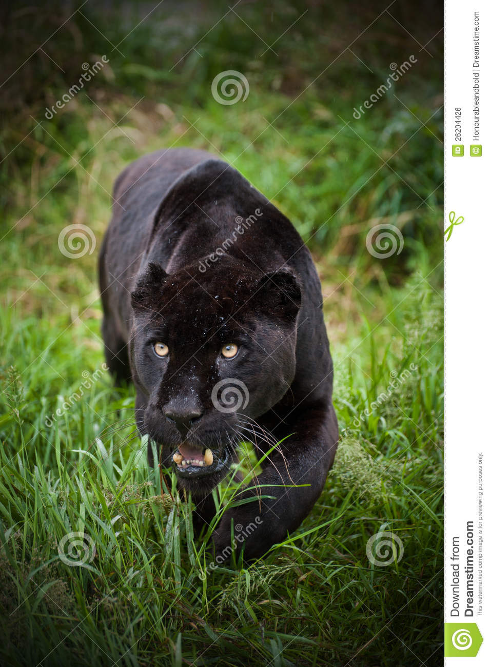 Black Jaguar Panthera Onca Prowling Stock Photo Image