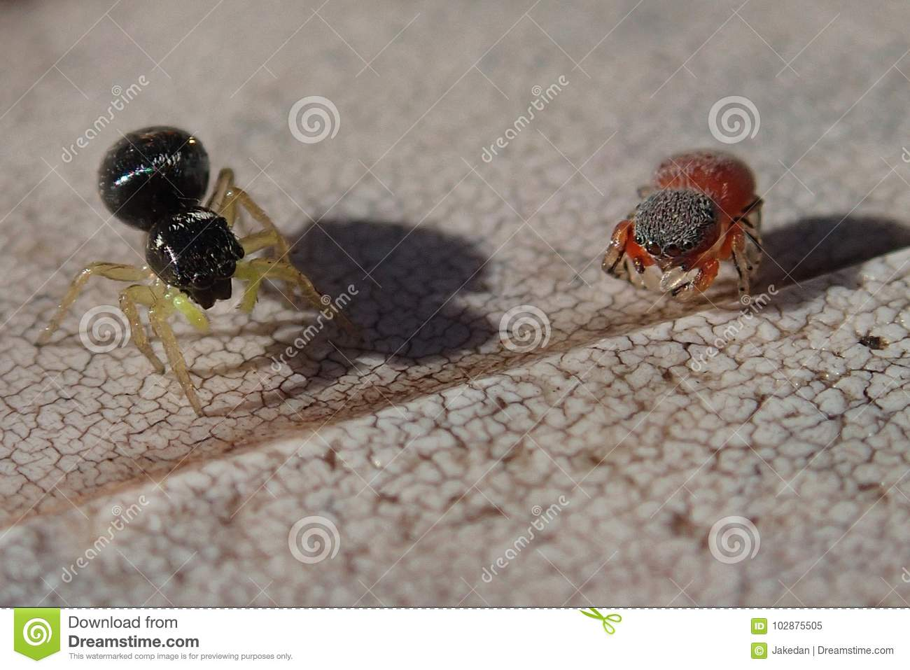 Black jumping spider with red dot - photo#44