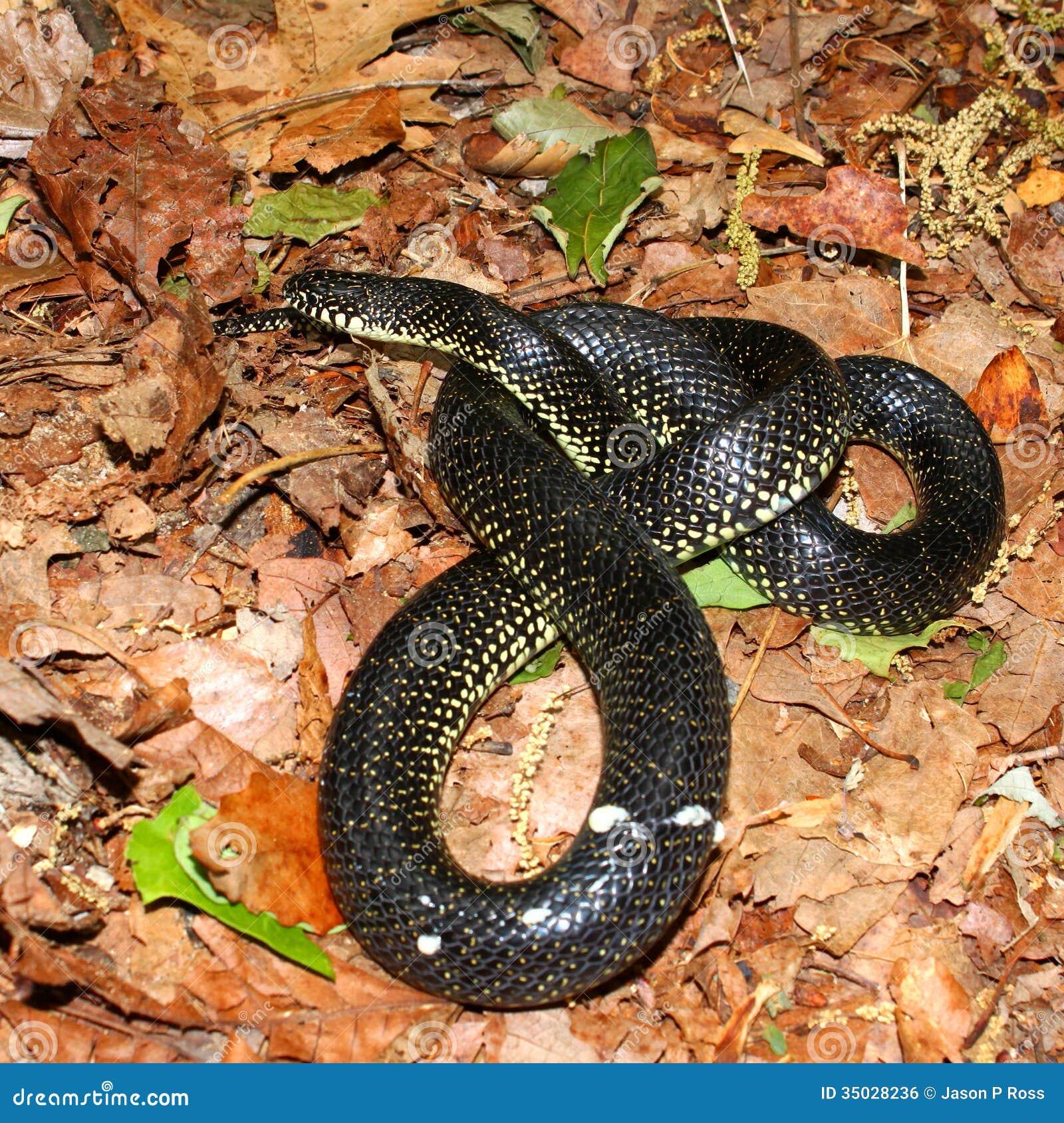 Alabama black snake 5 - 5 7