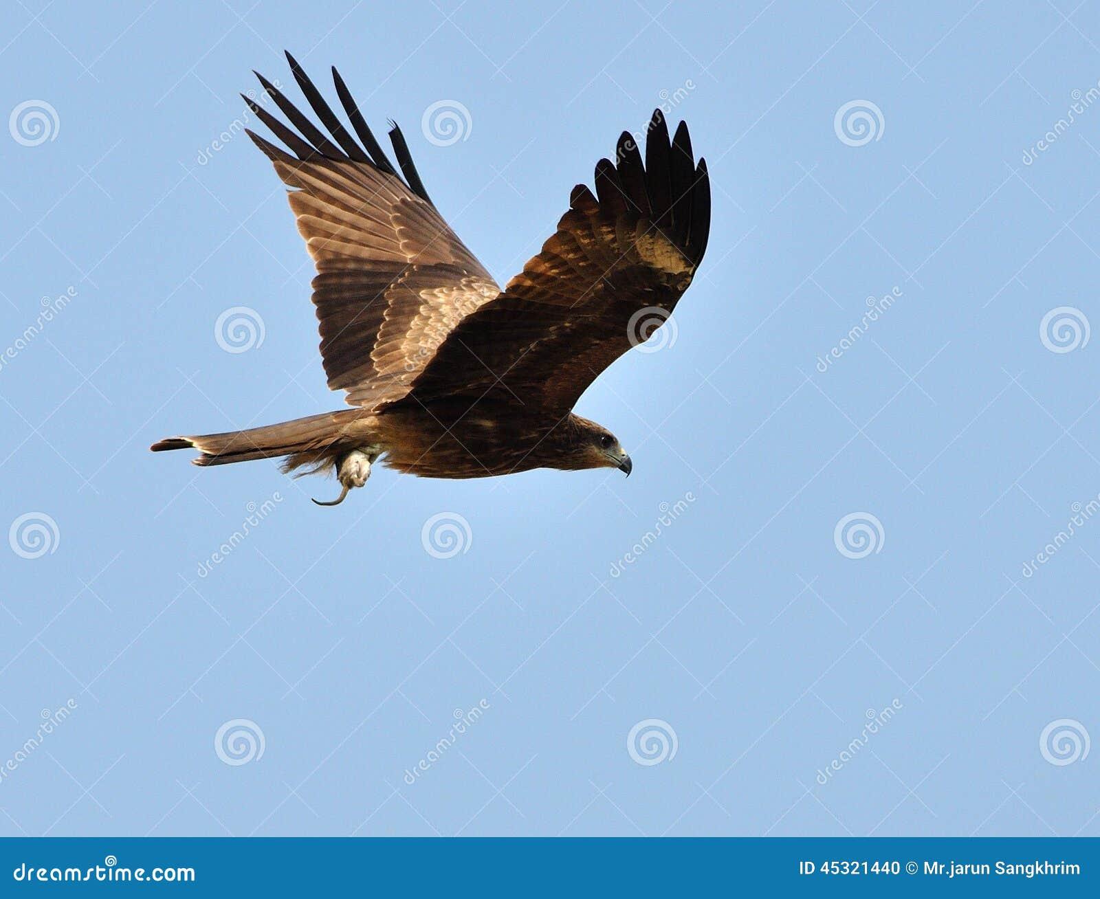 Black Kite Bird