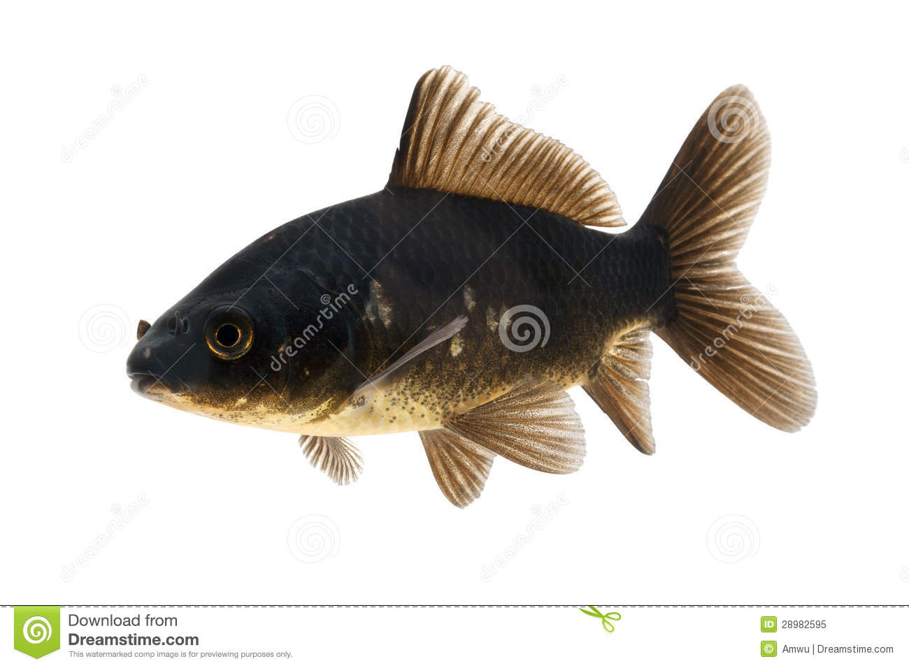 Black koi fish royalty free stock photo image 28982595 for All black koi fish