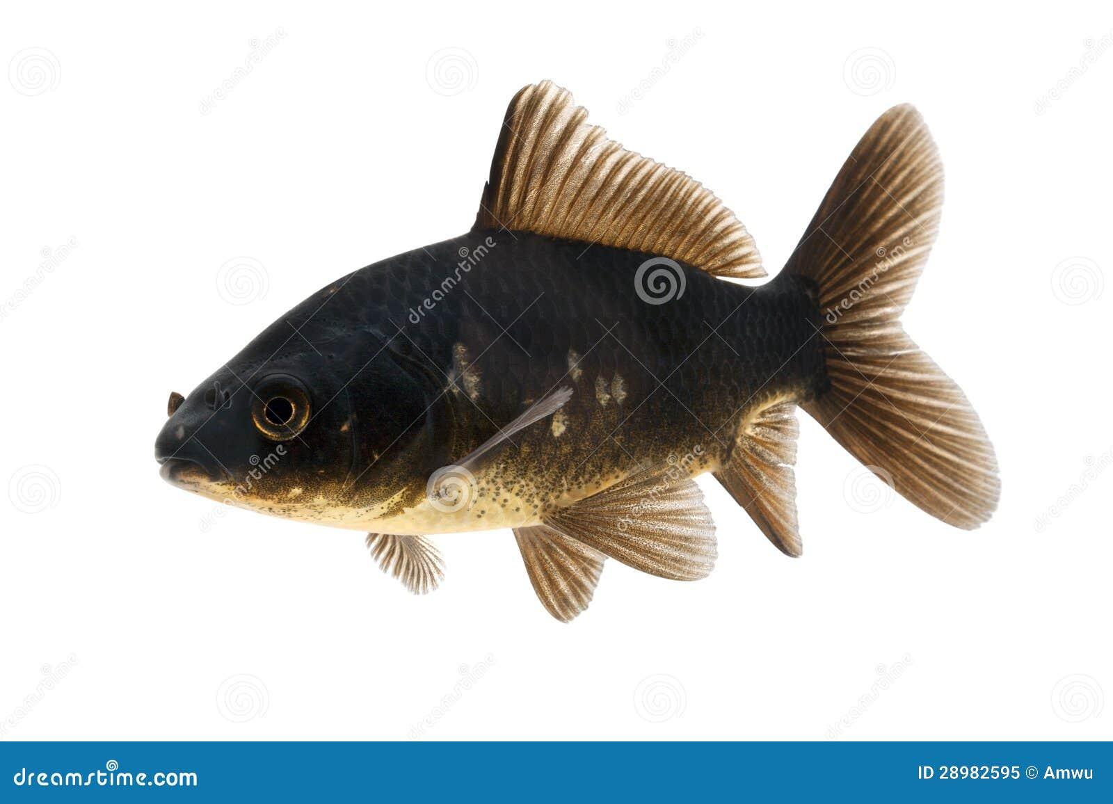 Black koi fish stock image image of domestic freshness for Black koi fish