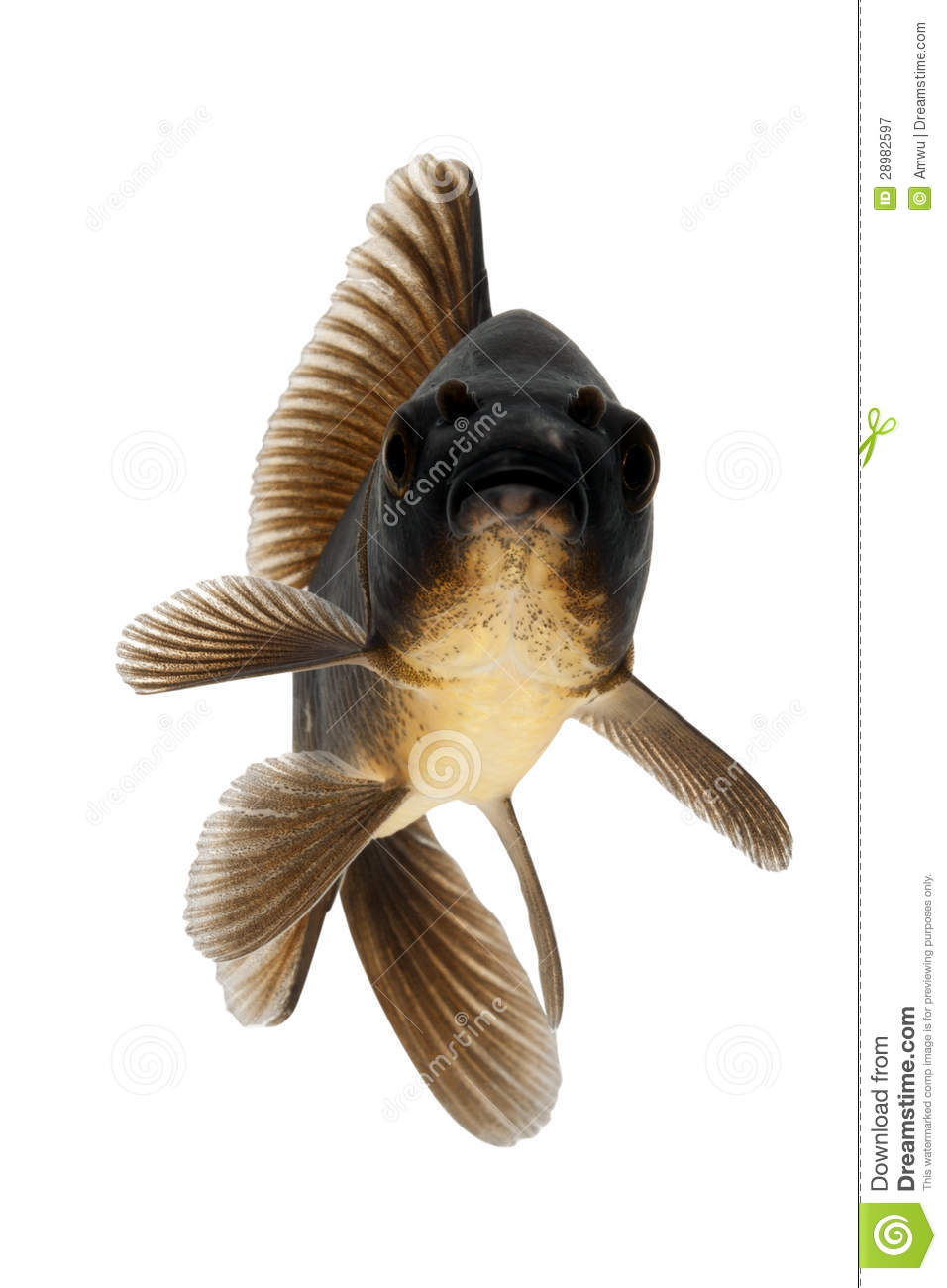 Black koi fish royalty free stock photography image for Black white koi