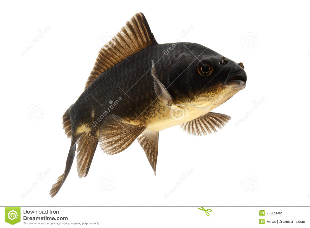 Black koi fish stock photography image 28982602 for All black koi fish