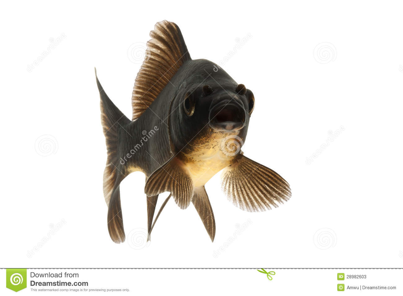 Black koi fish stock image image of underwater space for All black koi fish
