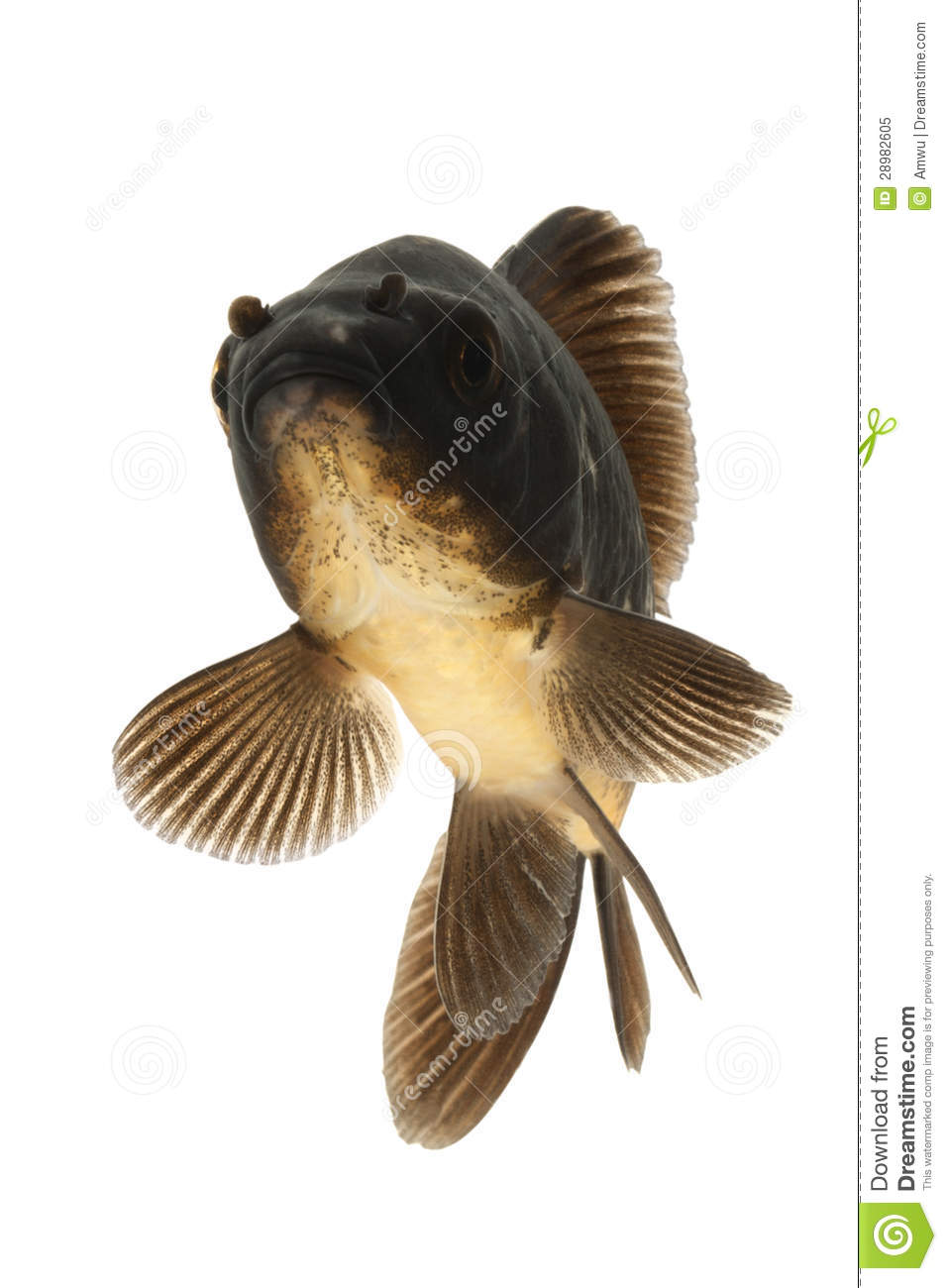 Black koi fish royalty free stock photo image 28982605 for All black koi fish