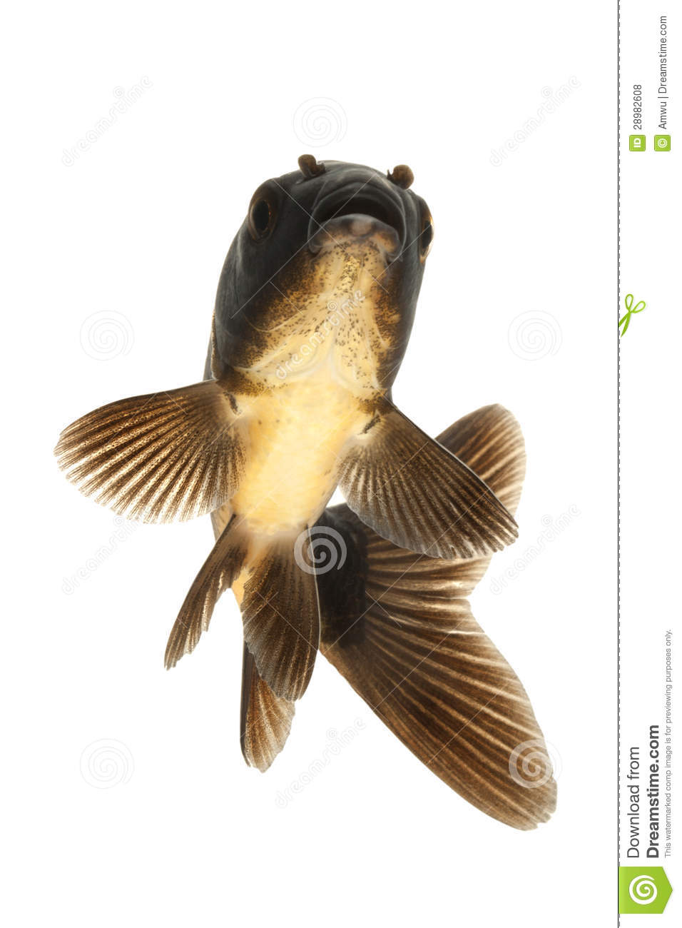 Black koi fish royalty free stock photos image 28982608 for All black koi fish