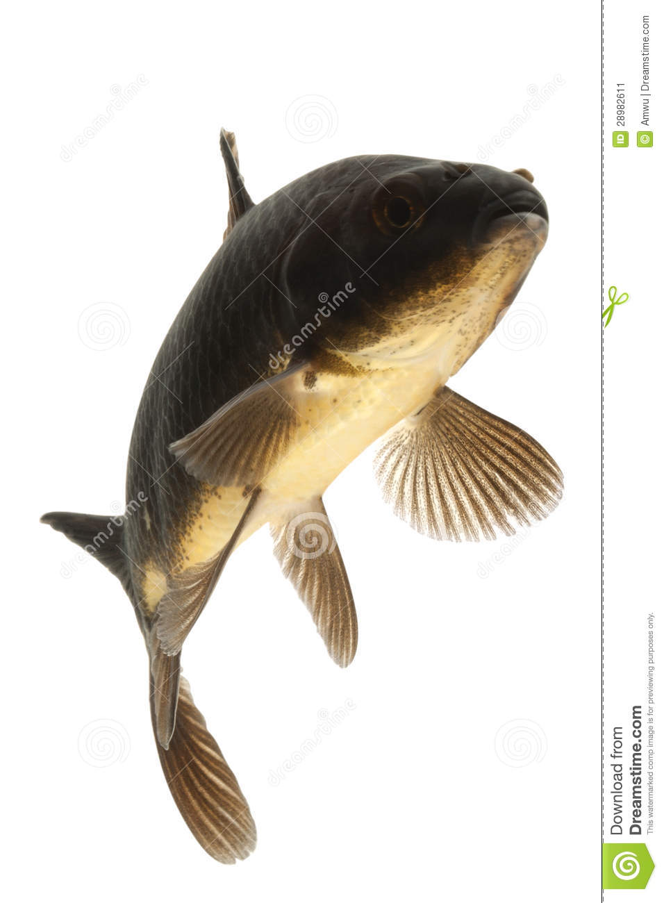 Black koi fish stock image image 28982611 for Black white koi