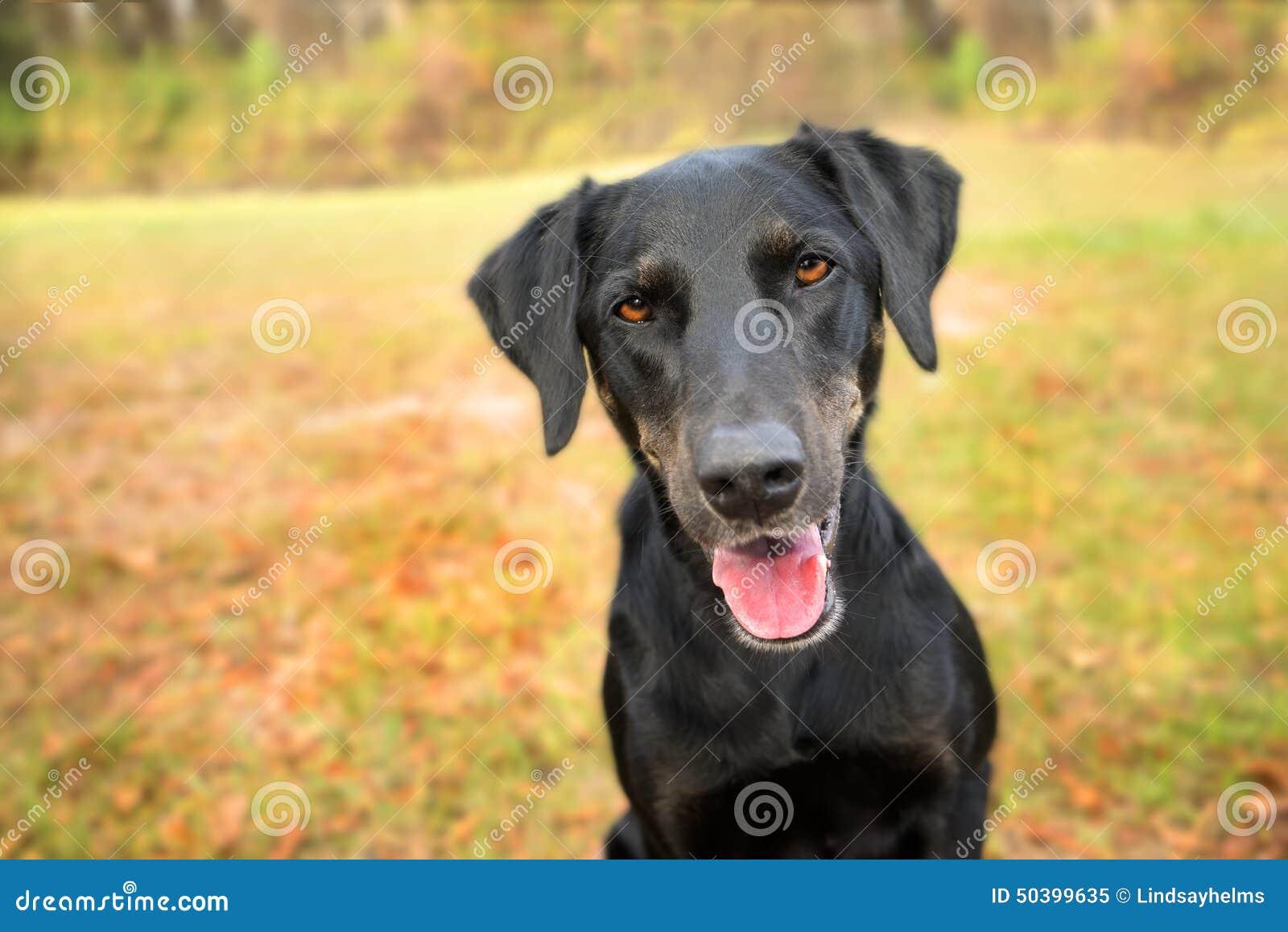 Black Dog Greyhound Collar