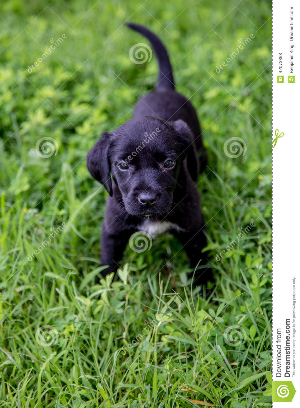 Lab Puppies Back Photos Free Royalty Free Stock Photos From Dreamstime