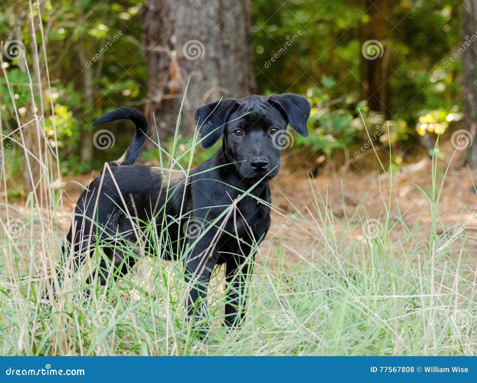 Black Lab Puppy Adoption Outdoor Stock Photo - Image of