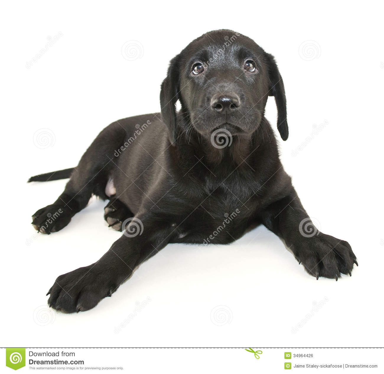 3 689 Black Lab Puppy Photos Free Royalty Free Stock Photos From Dreamstime