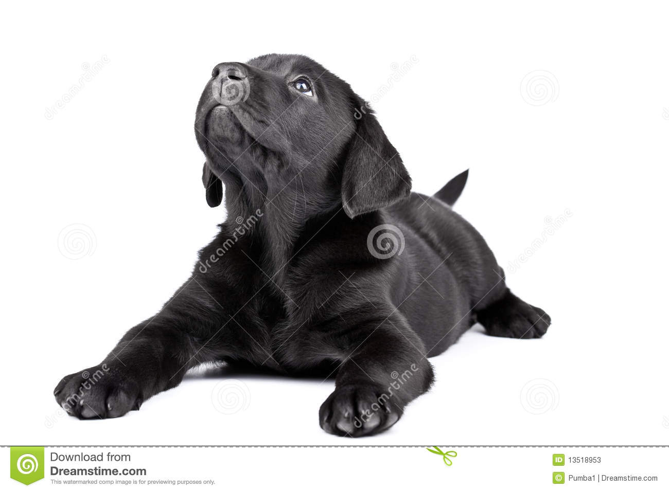 Black Lab Puppy Two Months Old Stock Image Image 13518953