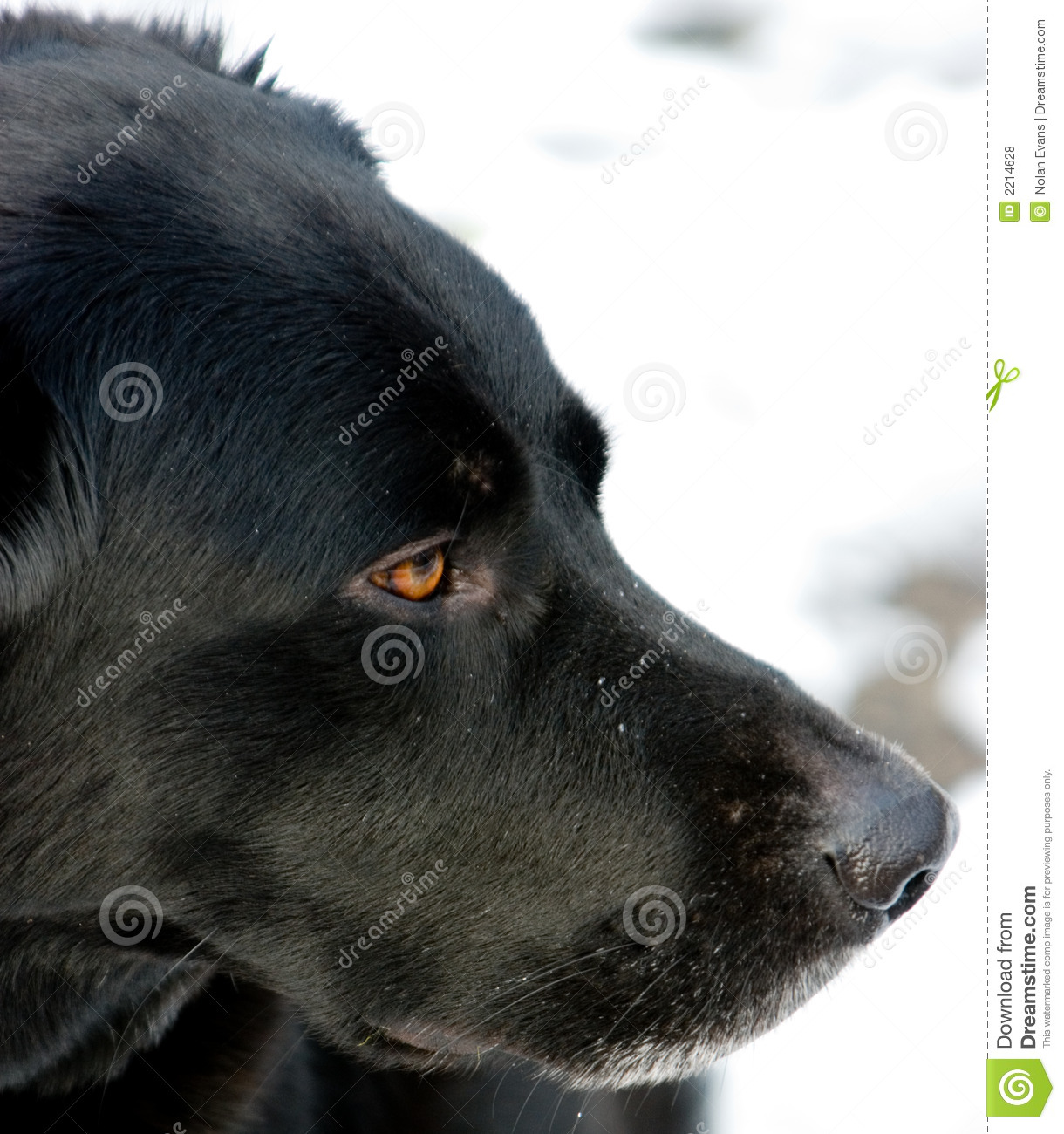 Black Labrador Border Collie Mix Stock Photo - Image of