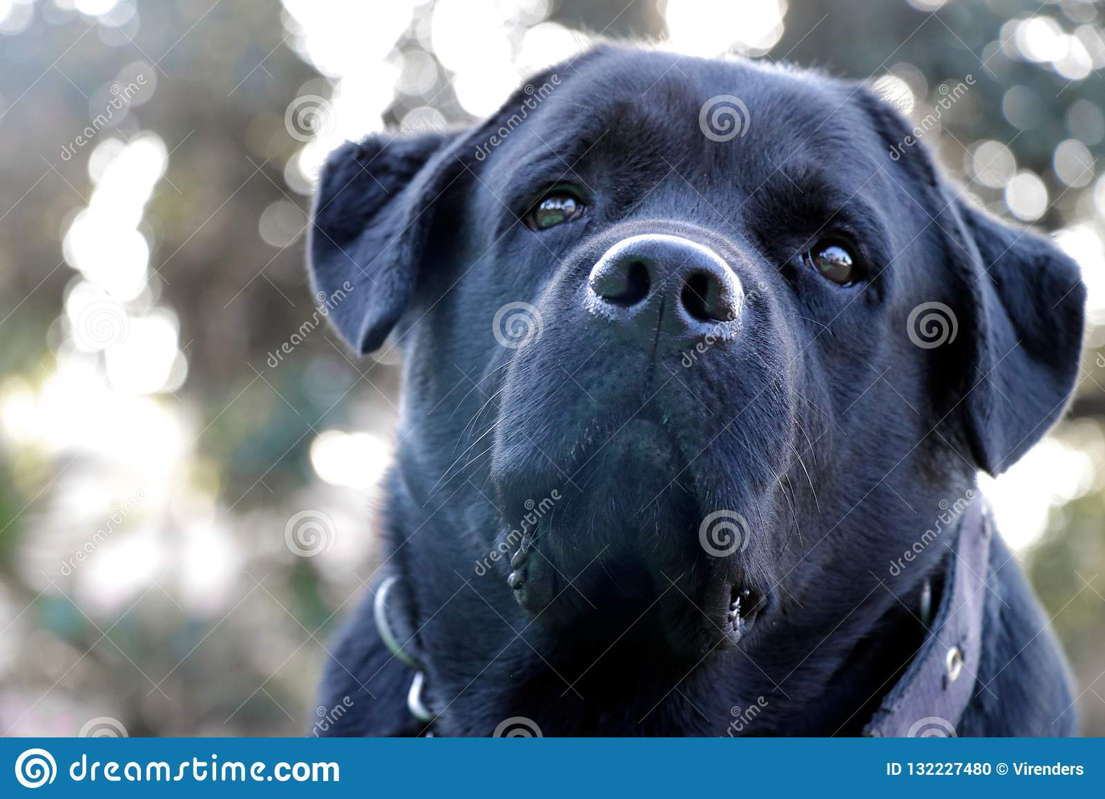 Black labrador dog face close-up, looking strangely