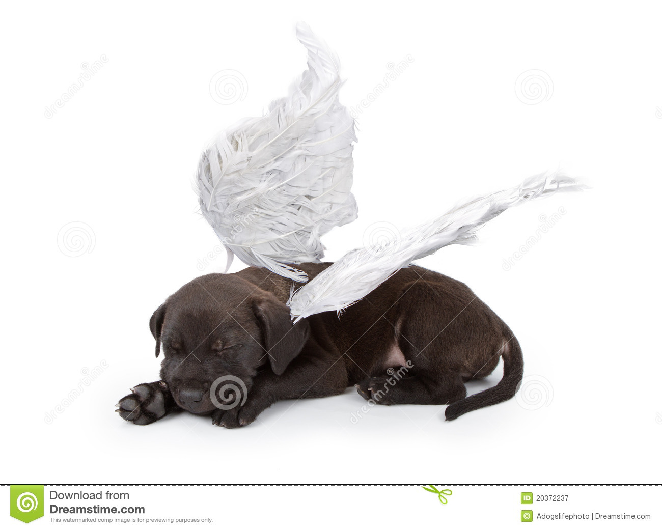 ... Free Stock Photography: Black Labrador Mix Puppy Wearing Angel Wings