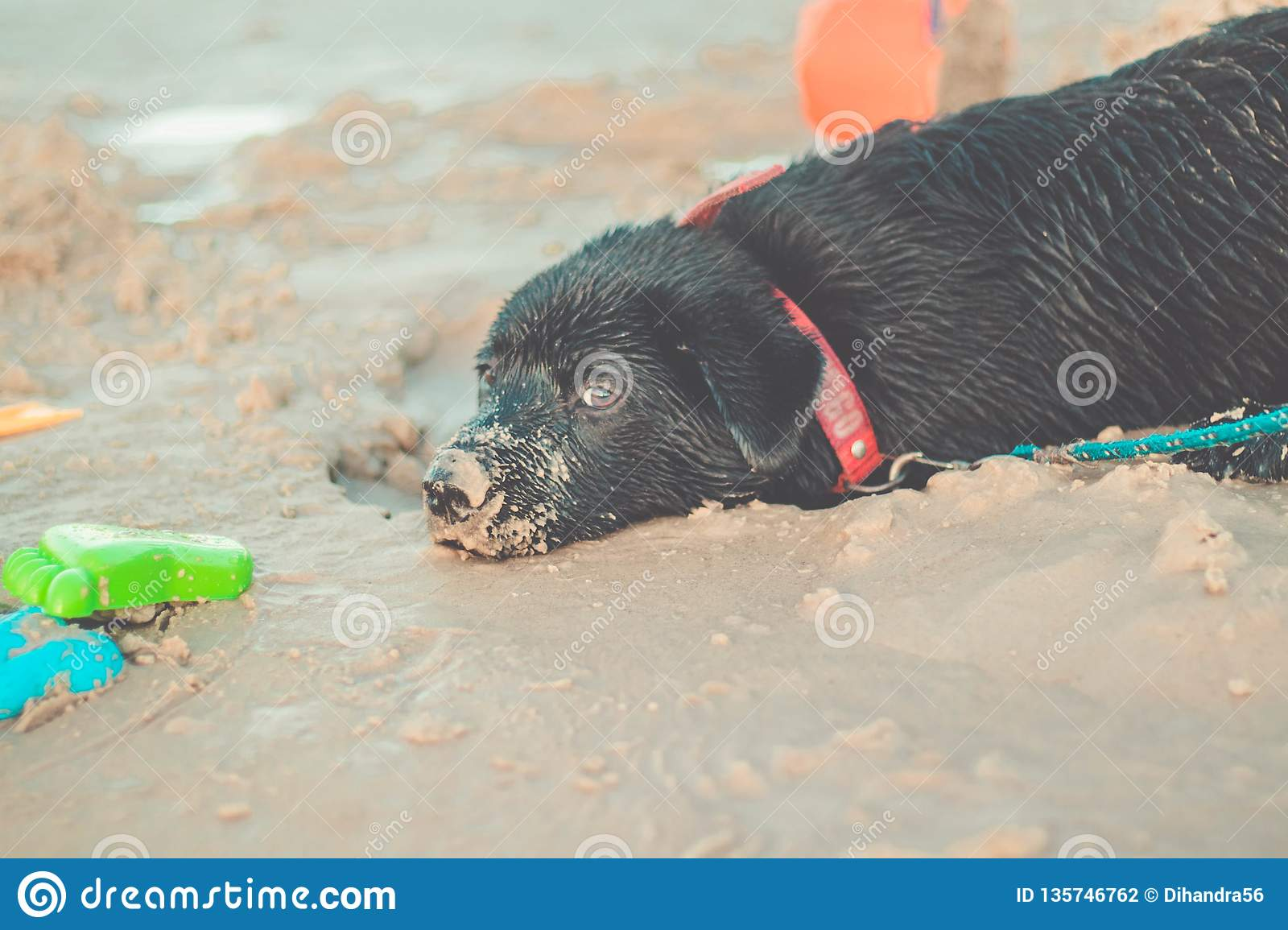 Portrait of a young cat looking to the cameraBlack Labrador Retriever digging in the sand. Dog on the beach