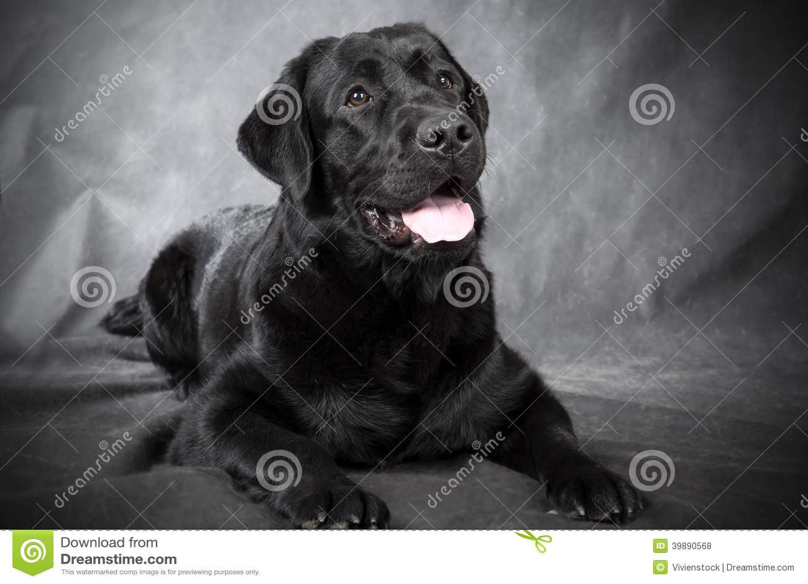 Black Labrador Retriever Stock Photo - Image: 39890568