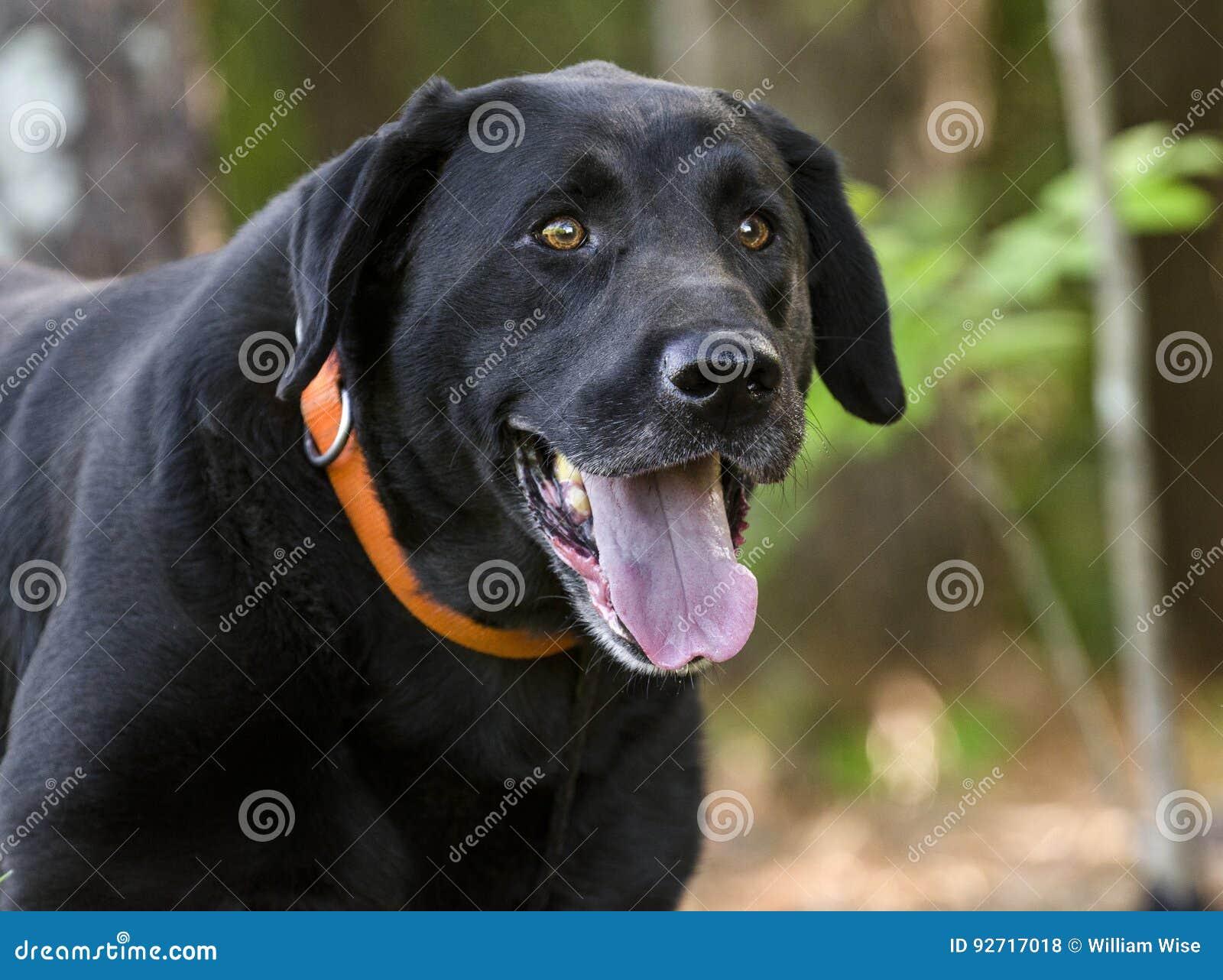 Black Labrador Retriever Dog Stock Photo - Image of brown, happy ... for Black Lab Dog Male  54lyp