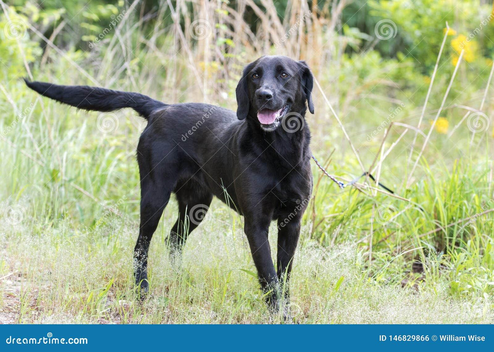 Black Labrador Retriever Dog Outside On Leash Wagging Tail