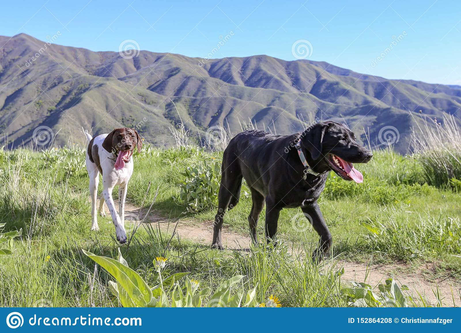 Black Labrador Retriever And A German Shorthair Pointer Hiking In The Mountains Near Boise Idaho Stock Photo Image Of Black Foothills 152864208