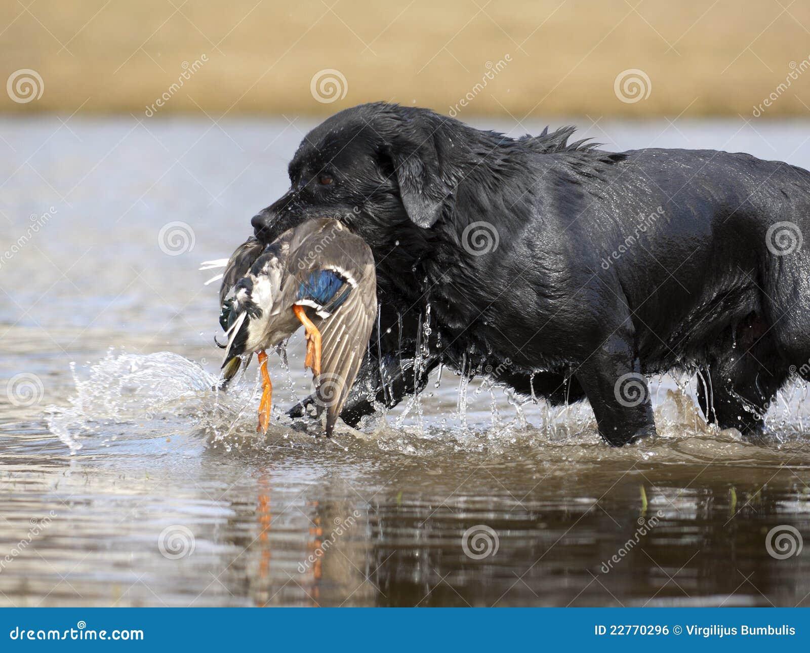 Black Labrador Retriever Hunting Duck Royalty Free Stock Image - Image ...