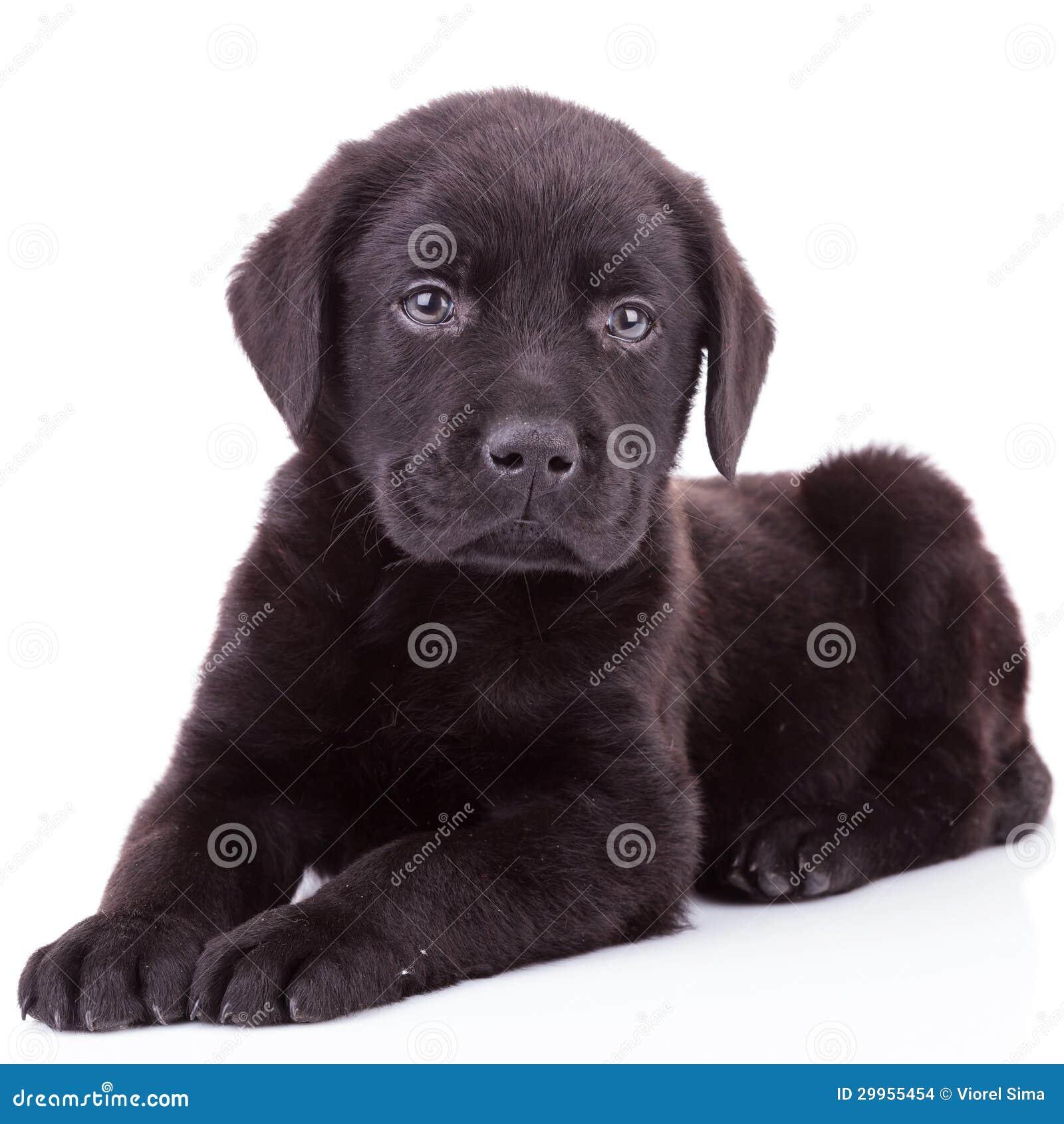 Black Labrador Retriever Puppy Dog Lying Down Stock Images