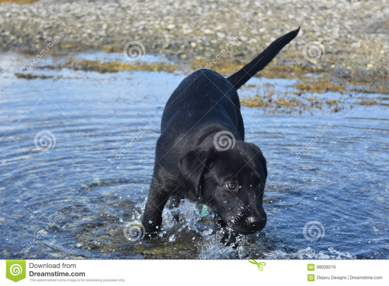 Black Labrador Retriever Puppy Dog Playing In The Ocean Stock Photo Image Of Macro Canine 98009216