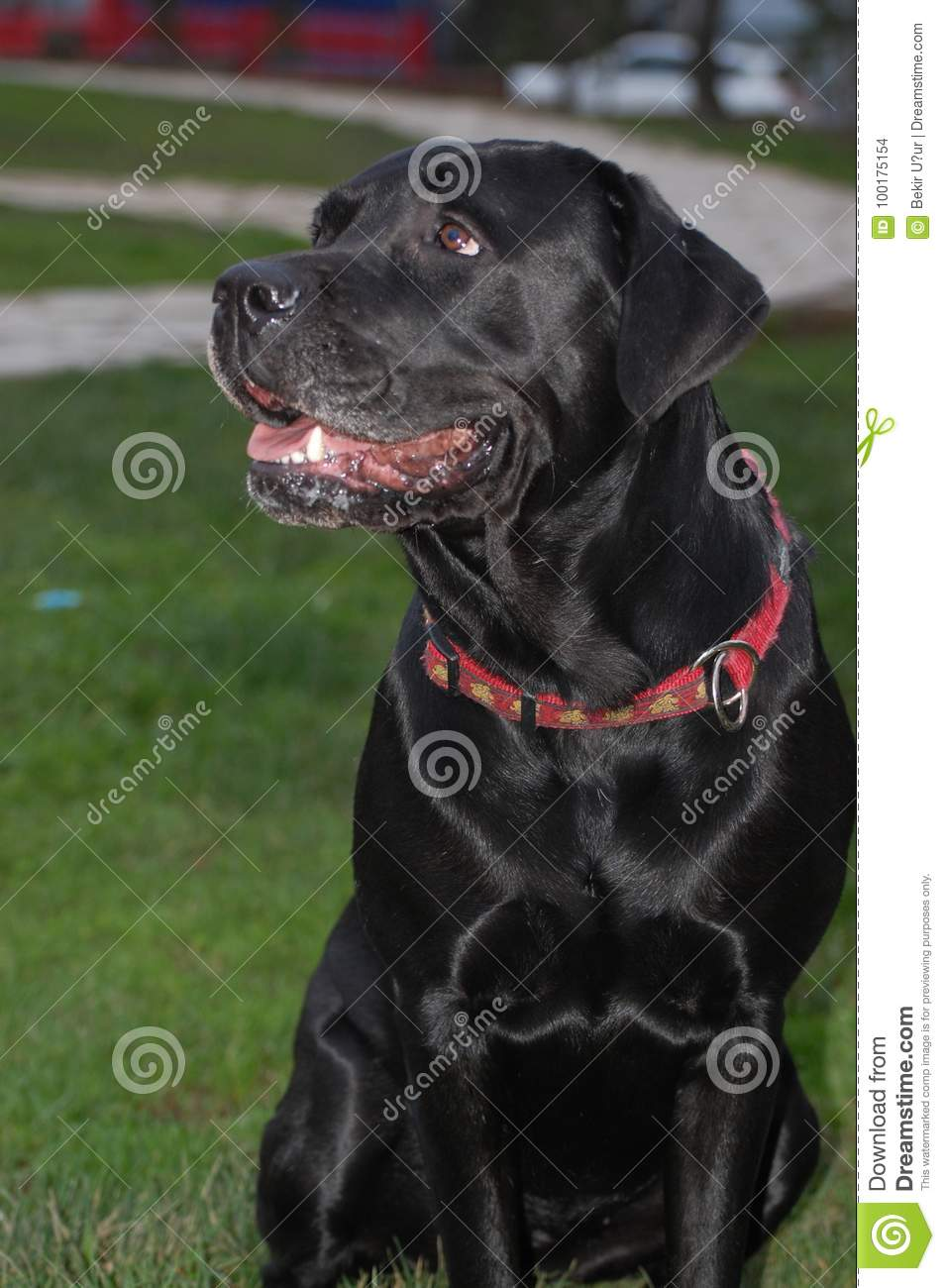 Labrador retriever on nature