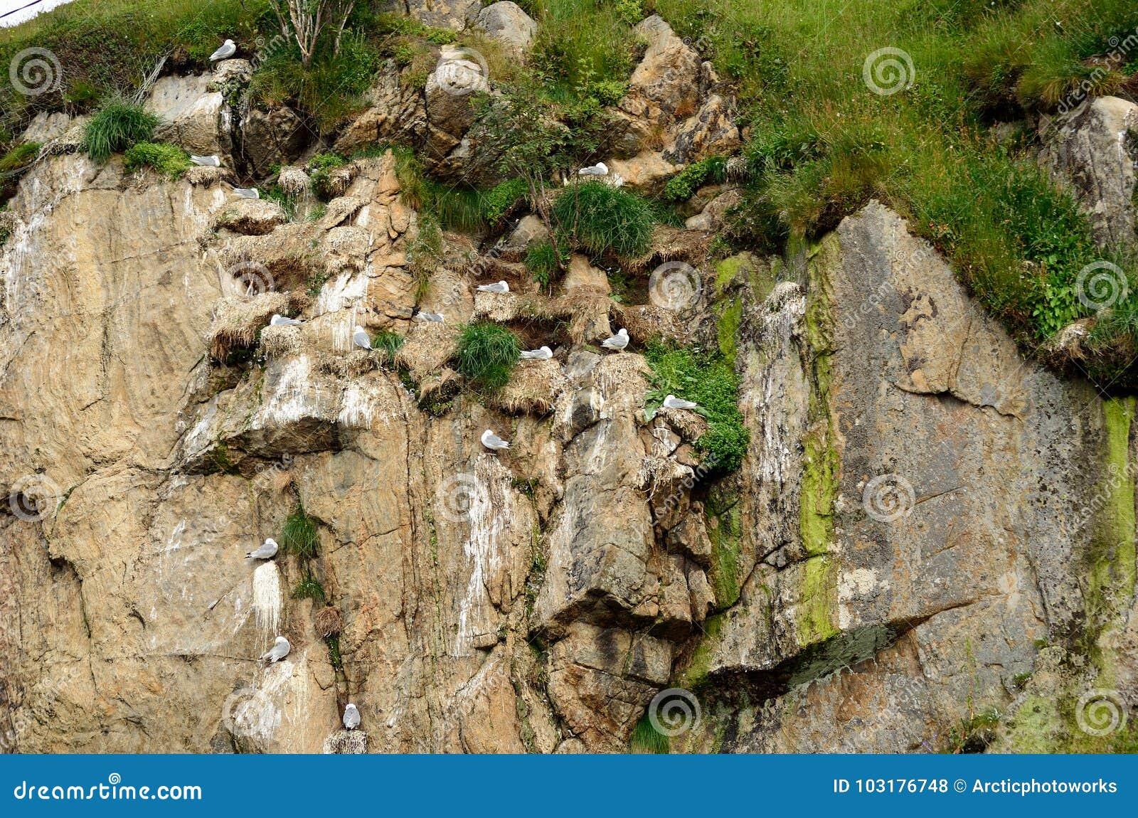 Black-legged kittiwake birds on nesting cliffside in summer