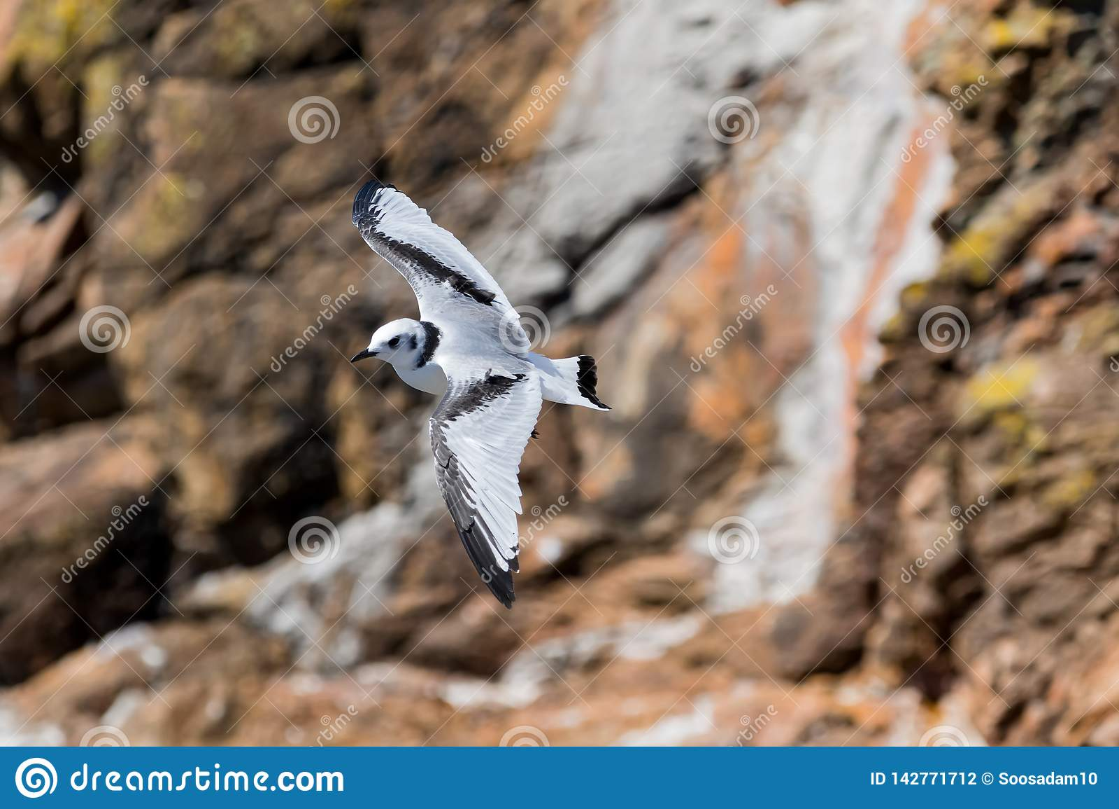Black-legged kittiwake Rissa tridactyla flying over