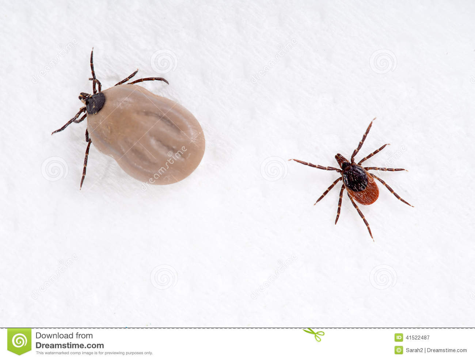 dog ticks vs deer ticks