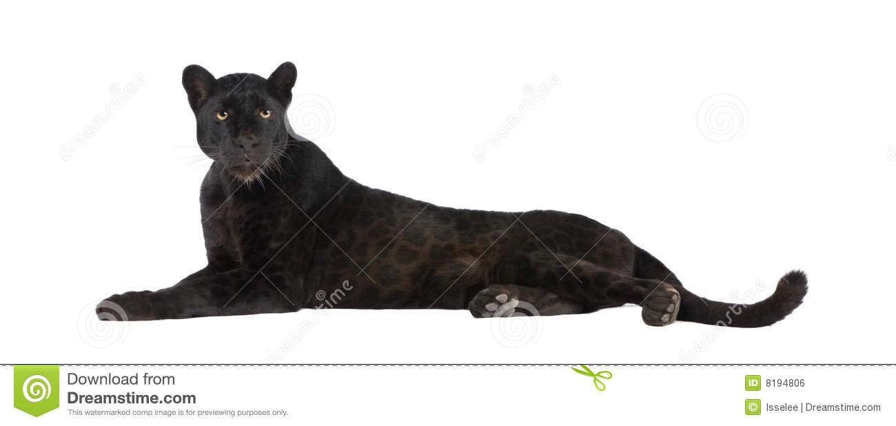 black leopard  6 years  stock photo cartoondealer com Black Panther Art Panther Clip Art Black and White