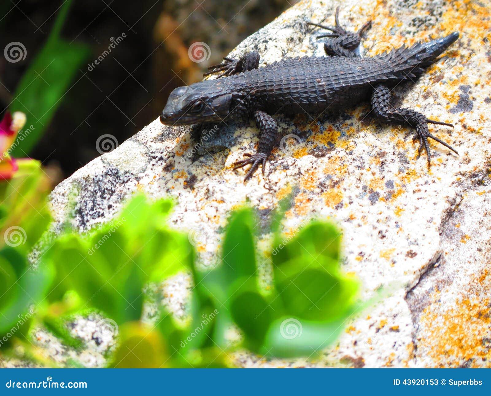Black Lizard On Rock Stock Photo Image 43920153