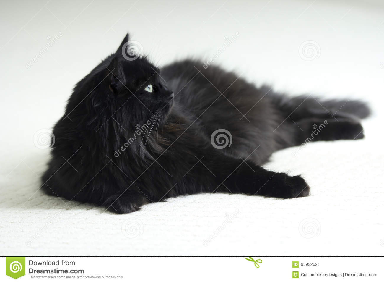 Download A Black Long Hair Cat On White Carpet. Stock Image - Image of happy, furry: 95932621