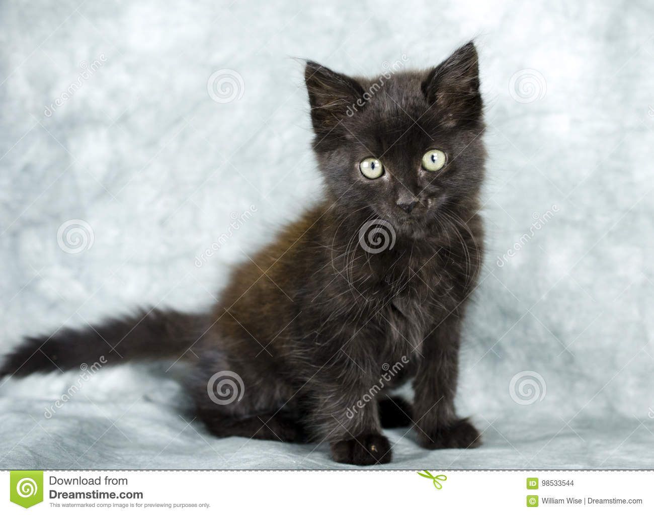 Black Long Hair Kitten Stock Photo Image Of Photoraphy