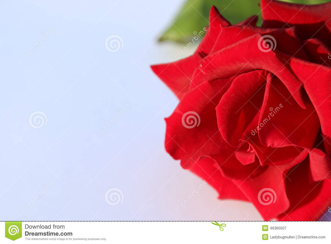 Black Magic Rose Stock Photo Image 46360507