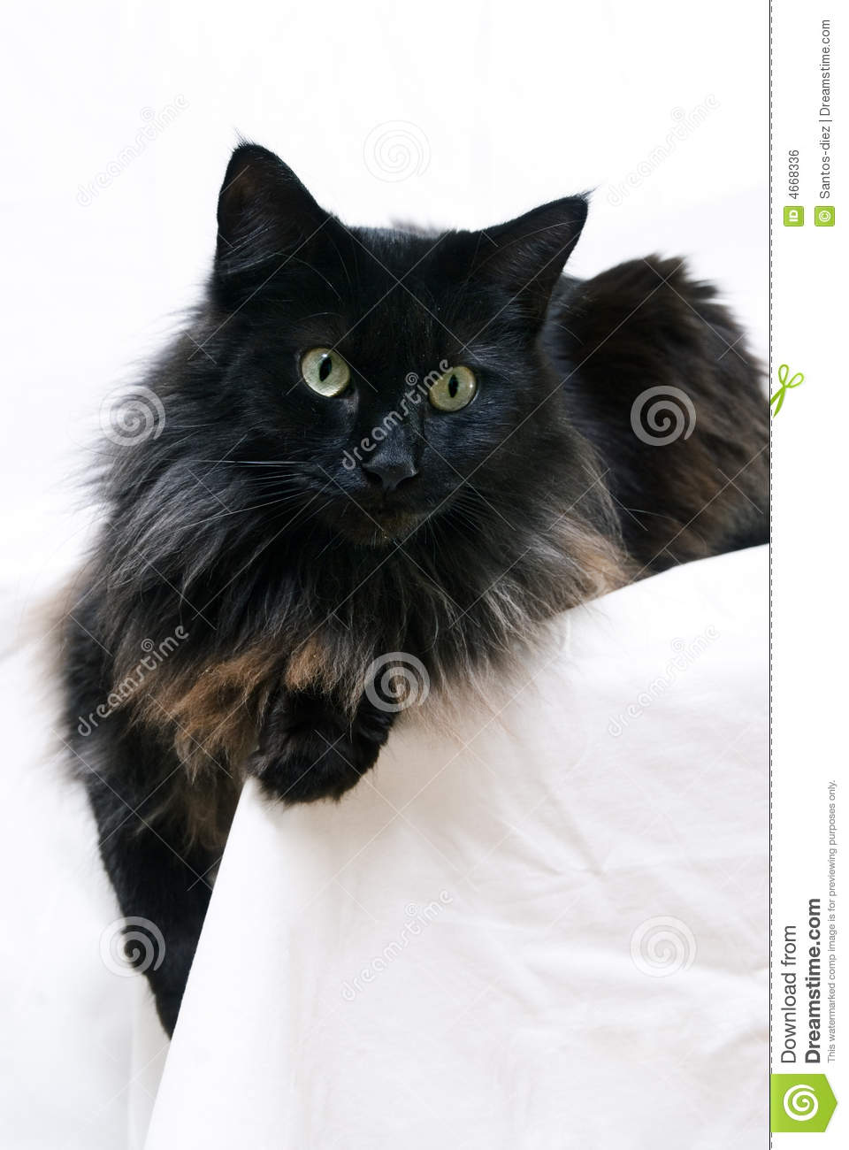 Black Maine Coon Royalty Free Stock Image - Image: 4668336 Tabby Maine Coon Kitten