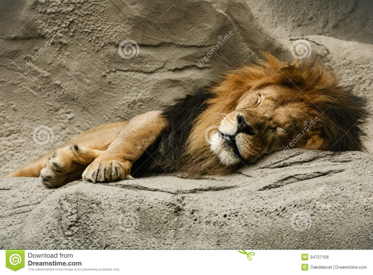 ... of this beautiful fully black maned lion sleeping comfortably on it