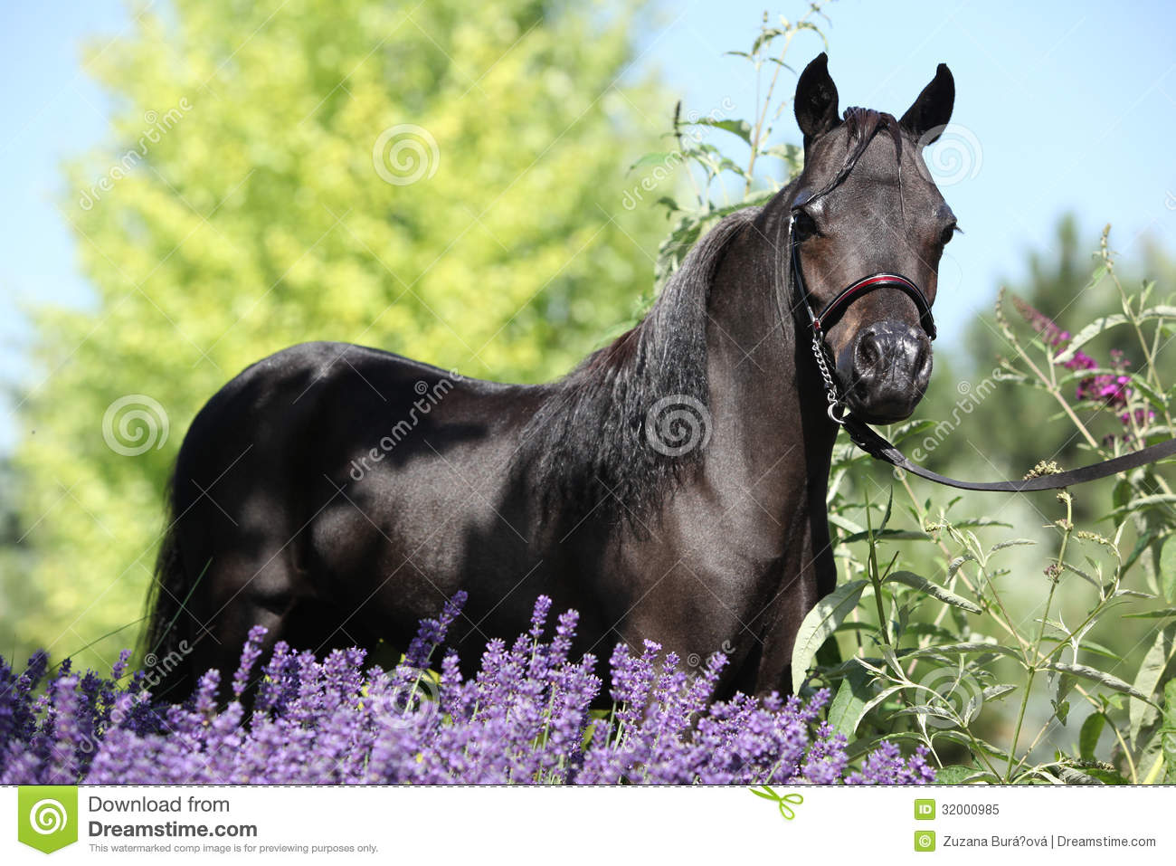 Black Miniature Horse Behind Purple Flowers Stock Image - Image of ...