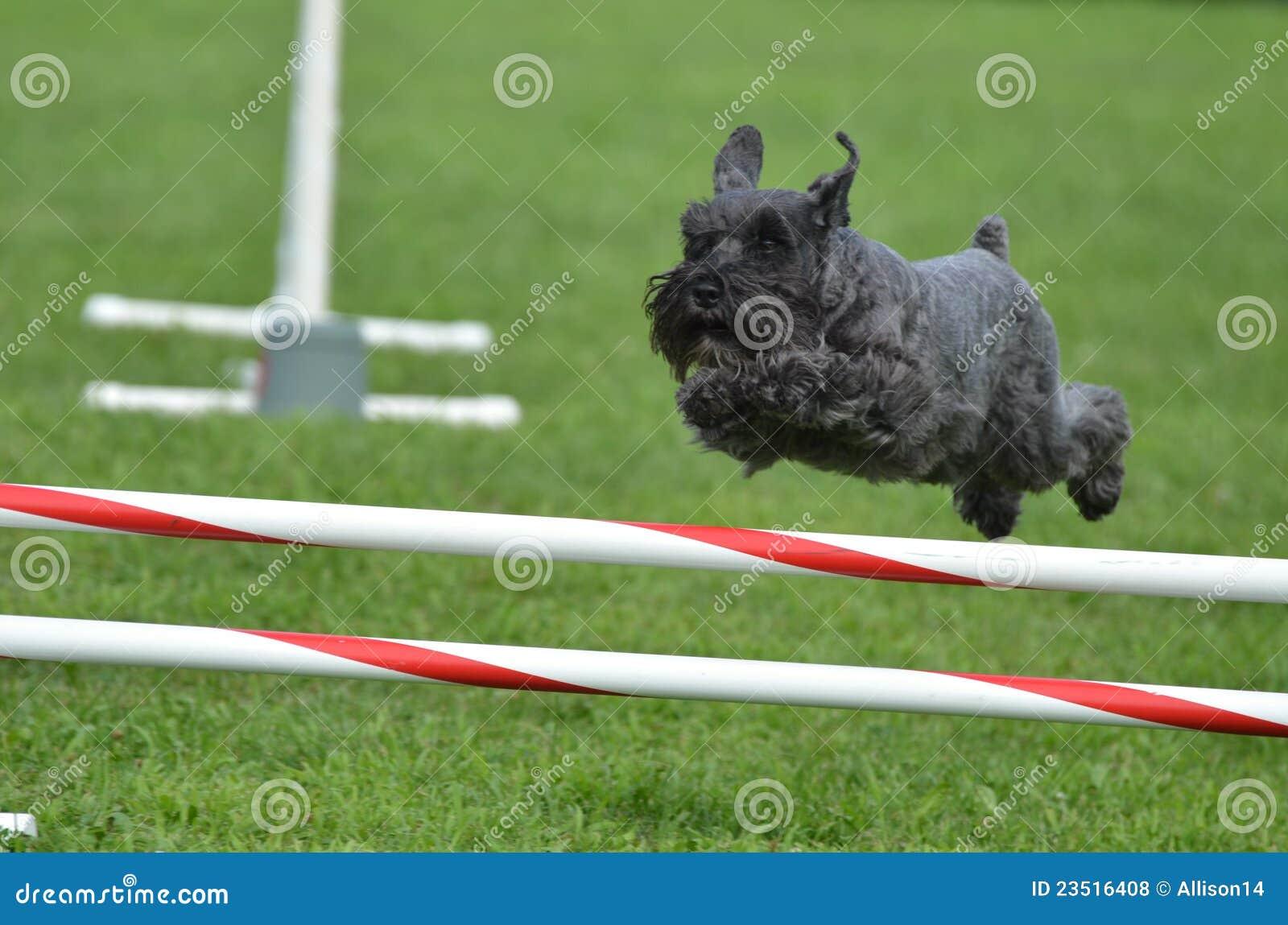 Royalty Free Stock Photos: Black Miniature Schnauzer at a Dog Agility ...