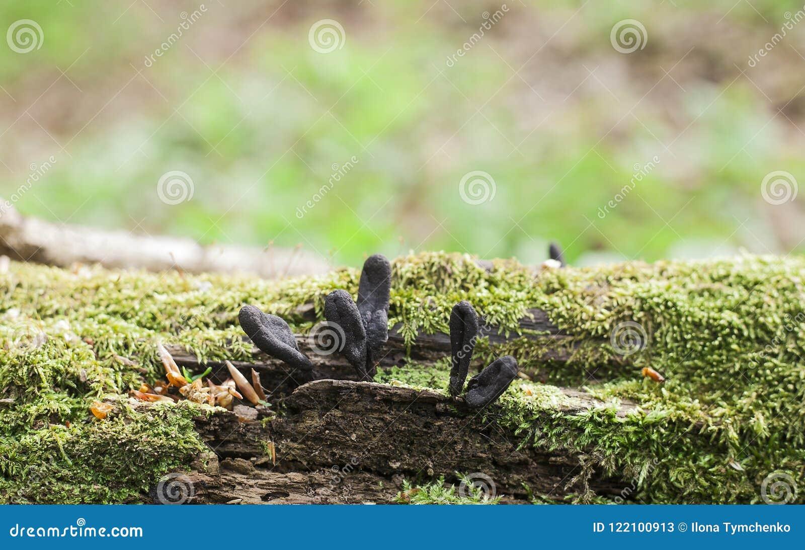 Dead mans fingers mushrooms on fallen tree
