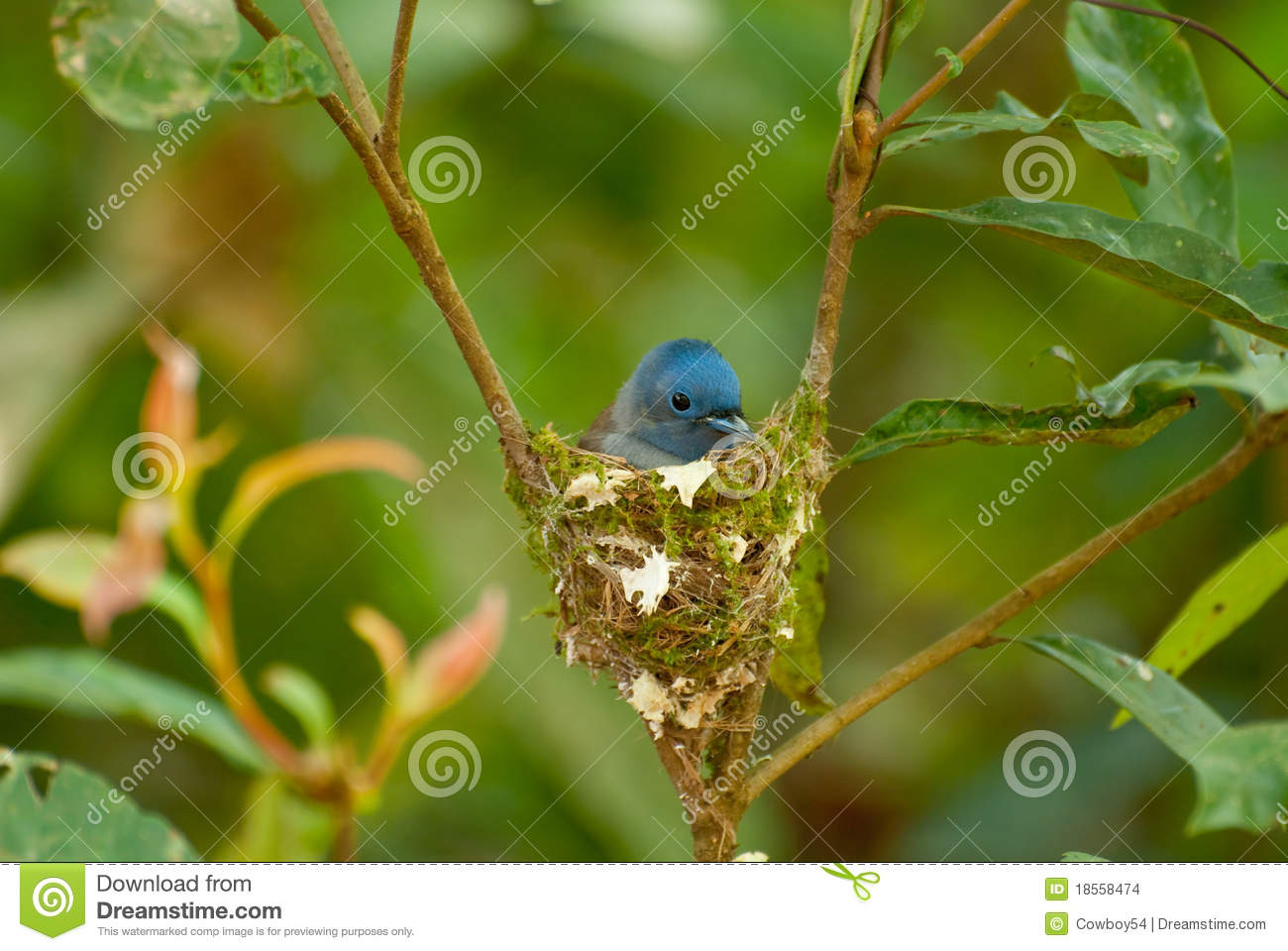 Black-naped Monarch Stock Images - Image: 18558474