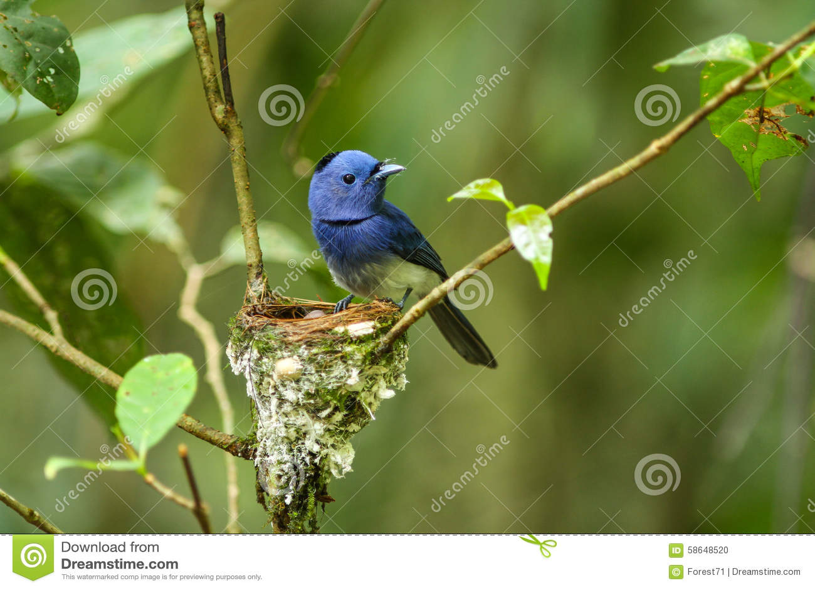 Black-naped monarch (Hypothymis azurea) bird in nature.