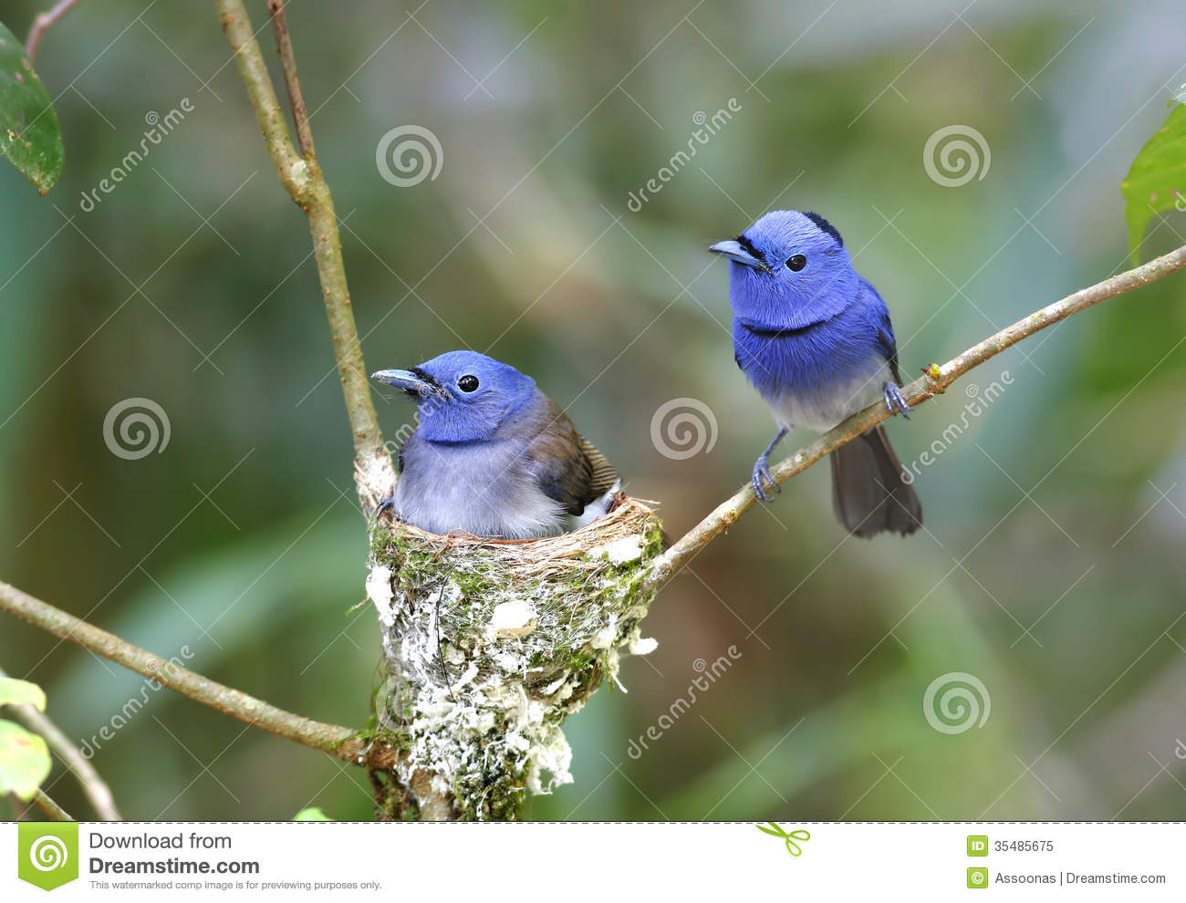 Black-naped Monarch Hypothymis Azurea Royalty Free Stock Photo - Image ...