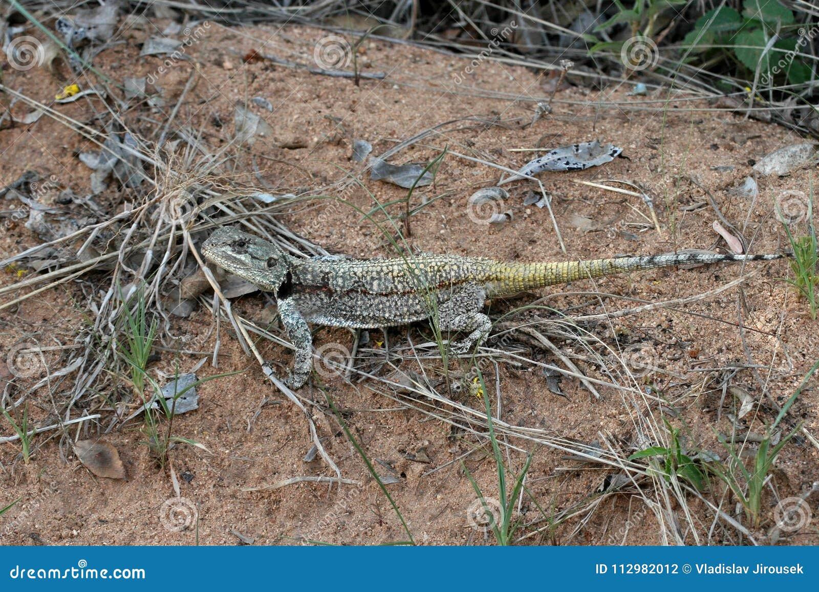Black-necked Agama, Acanthocercus atricollis, Matopos National Park, Zimbabwe