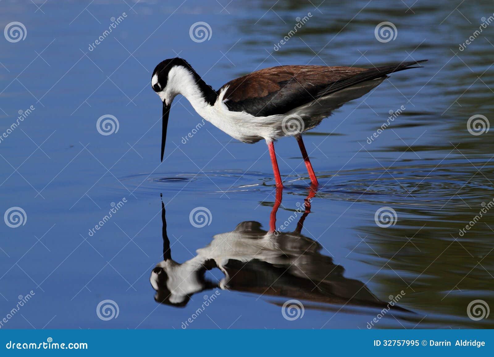 Black-necked Stilt bird