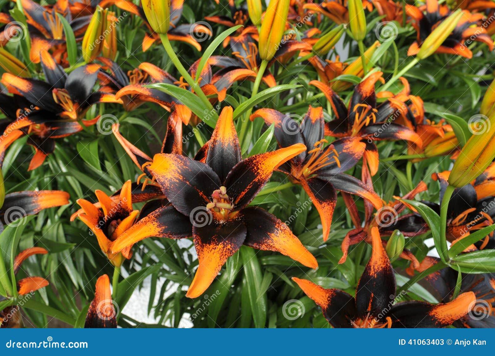 Black and orange lilies stock image image of field beautiful black and orange lilies izmirmasajfo