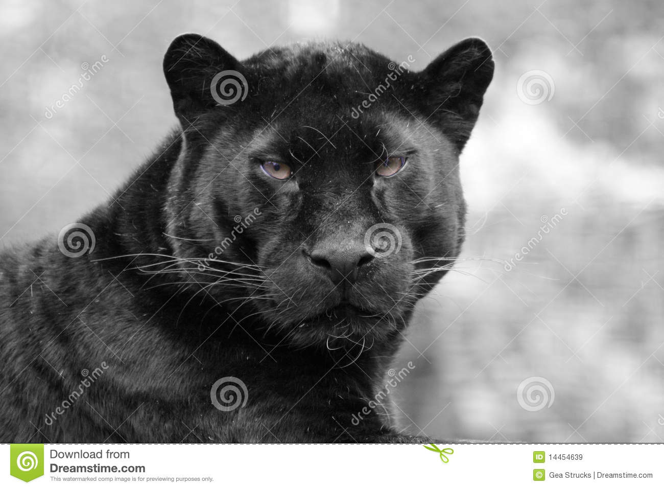 Download Black panther stock image. Image of wilderness, outdoors - 14454639